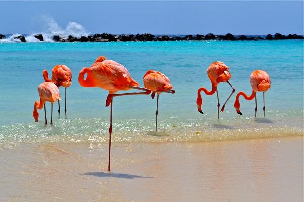 Flamingos na Renaissance Island Aruba Credito ATA
