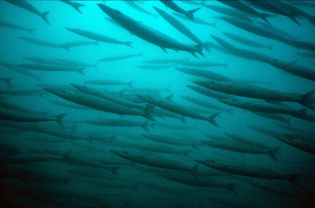 Galápagos blue: baracudas