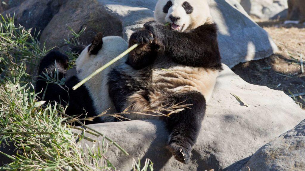 pandas-voltarao-a-china-apos-pandemia-causar-escassez-de-bambu-em-zoologico-canadense